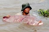 """Cá hô - loài cá """"vàng"""" khiến nhiều người đổi đời hoặc mạt vận"""
