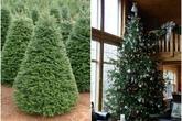 Hơn chục triệu đồng một cây thông thật mùa Giáng sinh