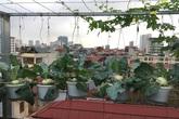 Vườn su hào treo lủng lẳng trên nóc tầng 7 ở nữ giảng viên