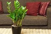 Trồng cây này trong phòng khách tiền sẽ ùn ùn kéo vào nhà, gia đình luôn khỏe mạnh