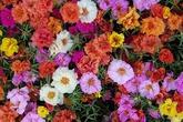 Vườn hoa 'đẹp như tranh vẽ' của mẹ Việt ở Australia