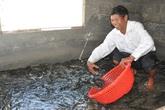 Cá lóc ăn Tết loại 1 hơn 300.000 đồng/kg dân phố vẫn đua nhau đặt