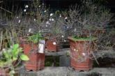Vườn bạch mai hàng trăm triệu đồng ở Hà Nội