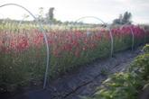 Khu vườn bạt ngàn hoa đẹp mê hồn của cô gái trẻ sẵn sàng bỏ việc để theo đuổi ước mơ trồng hoa