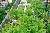 Mẹ 7x biến nóc chung cư thành vườn rau xanh mướt ăn cả năm chẳng hết