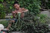 Cau non lại được ồ ạt hái bán sang Trung Quốc