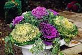 Vườn bắp cải đẹp hơn cả vườn hoa hồng