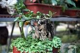 Quất bonsai bé tí giá hàng chục triệu gây sốt