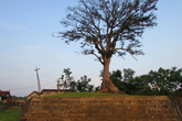 Cây sui khổng lồ giữa mảnh đất nắng gió
