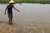 Đà Nẵng: Người dân lo lắng vì cá và lúa chết trắng đồng chưa rõ nguyên nhân