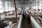 Giá lợn hơi đã tăng trở lại