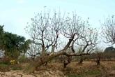 Những cây đào phai cổ thụ tuyệt đẹp ở Hải Phòng