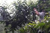 Chỉ trồng 1 cây rau sắng rừng thu 3 triệu đồng ngon ơ