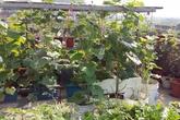 Một lần đau bụng vì rau chợ, cô giáo tiểu học quyết trồng rau sạch tốt ngập trên sân thượng