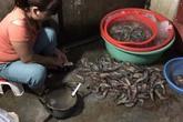 Bột agar mà gian thương bơm vào tôm có hại như thế nào?
