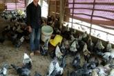 Anh chàng 9X người Mông thu tiền đều đều nhờ nuôi loại gà