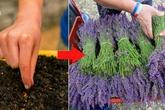 Cần gì phải bỏ tiền mua hoa oải hương nhập khẩu, dưới đây là cách trồng oải hương đơn giản nhất