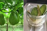 Tách hạt su su cho vào cốc rồi đem trồng, vài tháng sau có cả giàn sai trĩu