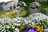 Không thể rời mắt trước những thảm hoa cúc đẹp hơn tranh của mẹ Việt ở Australia