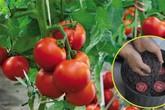 """Lạ đời cách trồng cà chua """"thái miếng"""" chỉ mất vài phút, sau được cả vườn cà chua sai trĩu"""