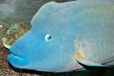 """""""Vua của các loại hải sản"""" được bán với giá 2,3 triệu đồng/kg"""