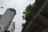 Hà Nội: Hàng cây chiêu liêu trồng dưới gầm đường sắt trên cao giờ ra sao?