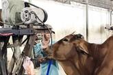 Mỗi con bò kiếm lời thêm 20kg nhờ bơm nước lã