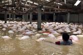 Thanh Hóa: Sẽ dùng thuyền vớt dần gần  6.000 con lợn chết đi tiêu hủy