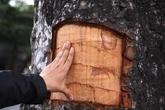 Cụ ông 80 tuổi lột vỏ hàng chục cây xà cừ cổ thụ về chữa bệnh cho vợ
