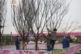 """Khai mạc Lễ hội hoa anh đào - mai vàng Yên Tử: Anh đào Nhật nở muộn vì """"lạ trời"""""""