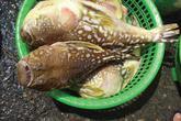 Ăn cá nóc vàng, 3 người ở Đà Nẵng suýt chết