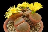 Phát sốt với loại cây cảnh mini như viên sỏi ra hoa rực rỡ, tha hồ để bàn làm việc
