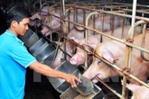 Thịt lợn hơi thấp lịch sử: Doanh nghiệp hỗ trợ hơn 20 tỷ/tháng cho người nuôi lợn