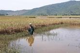 Thanh Hóa: Sông Nhơm bị chặn dòng, hàng chục hecta lúa ngập úng