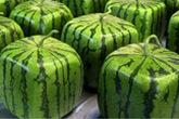 Lý do thực sự khiến người Nhật trồng dưa hấu vuông