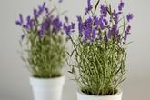 7 loại cây gia vị quen thuộc giúp muỗi tránh xa ngôi nhà của bạn nên trồng ngay hôm nay