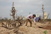 Chưa đến Rằm, nông dân đã tất bật trồng lại đào