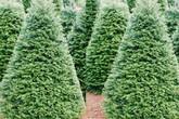Chơi trội dịp Noel: Cây thông 5 mét nguyên gốc từ Đan Mạch về Việt Nam