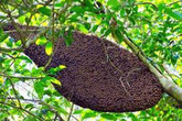 Nghệ An: 14 người nhập viện vì bị ong rừng tấn công