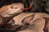 Bị rắn độc cắn, chồng quay sang cắn vợ để chết chung
