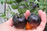 6 điều phải nhớ để trở thành 'cao thủ trồng cà chua'