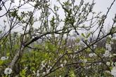Đi Nhật đã lỗi mốt, muốn ngắm hoa đào phải lên Fansipan