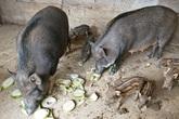 """Giữa cơn """"bão giá"""", lợn rừng vẫn bán được 120.000 đồng/kg hơi"""