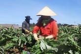 Bên trong vườn trồng atiso giúp nông dân Đà Lạt thu trăm triệu - Kinh doanh