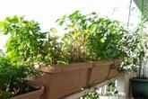 Mẹ Việt trồng đủ các loại rau quả sạch trên ban công vỏn vẹn 3m² tại Nhật