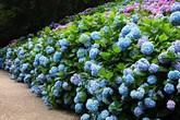 8 loại cây hàng rào tuyệt đẹp nhất định phải trồng để nhà