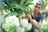 """1 cây xoài ra 2 loại trái, cụ ông """"bỏ ống"""" 90 triệu/vụ"""