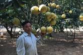 Lão nông phát tài với vườn bưởi Diễn 40.000 quả