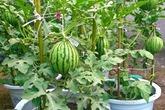 Mách chị em cách trồng dưa hấu trong chậu cực đơn giản, cho quả vừa to vừa ngọt