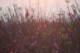Đào nở sớm ở vườn hoa nổi tiếng thủ đô